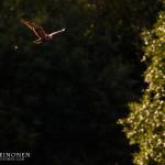 Ruskosuohaukka saalisti lintualtaan yllä - Tuomas Heinonen