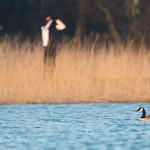 Kanadanhanhia on puronsuussa - Kuva: Tuomas Heinonen