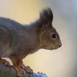 Orava - Kuva: Risto Keränen