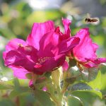 Ampiainen ja ruusunkukat - Kuva Esa Mälkönen