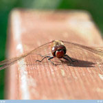 Elokorento, Yellow - winged Darter