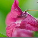 Jättipalsami - (Impatiens glandulifera - Himalayan Balsam)