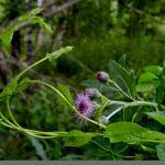 Karhunköynnös (Calystegia sepium - Larger Bindweed)