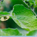 Karviaiskoiso (ananaskirsikka) - Cape Gooseberry, Physalis peruviana