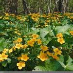 Rentukka (Caltha palustris)