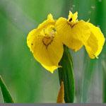 Keltakurjenmiekka (Iris pseudacorus)