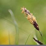 Viiltosara (Carex acuta)