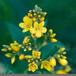 Ranta-alpi (Lysimachia vulgaris)