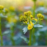 Peltokanankaali (Barbarea vulgaris)