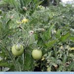 Tomaatti-Tomato, Solanum lycopersicum