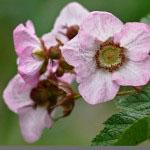 Tuoksuvatukka ( Rubus odoratus - American bramble, Virginian rasberry)
