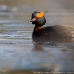 Mustakurkku-uikku BirdLife Suomen vuoden lintu