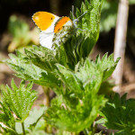 Aurotaperhosia lentelee runsaasti - Kuva: Tuomas Heinonen