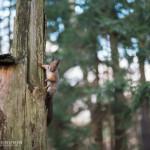 Orava - Kuva: Tuomas Heinonen