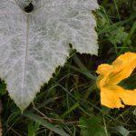 Kesäkurpitsan kukka - Kuva Tommi Heinonen