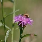 Ahdekaunokki houkuttelee mehiläisiä - Kuva Jukka Ranta