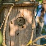 Ampiaispesä linnunpöntössä - Kuva Paul Stevens