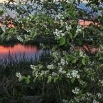 Auringonlaskun tuomi - Kuva Esa Mälkönen