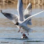 Naurulokkien kisailua - Kuva: Bore Wanner