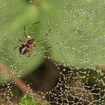 Hämähäkki aamukasteella - Kuva Mehmet Cadiroglu