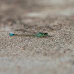 Hoikkatytönkorento - kuva Paul Stevens