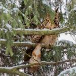 Huuhkaja ja orava - Kuva Mikko Joensivu