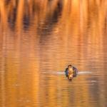 Iltavalossa viimeisimmät linnut - kuva Timo Leppäharju
