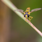 Isohoikkakirvari - kuva Paul Stevens