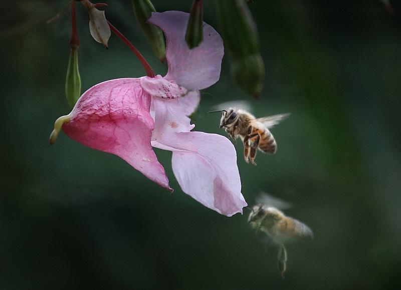 Jättipalsami ja mehiläiset - Kuva Esa Mälkönen