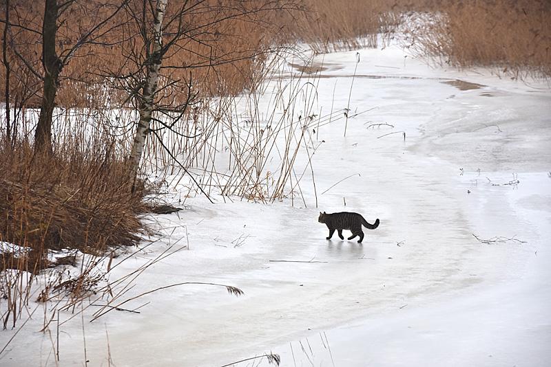 Kissa heikolla jäällä - Kuva: Tommi Heinonen