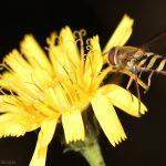 Kukkakärpänen - Kuva Mehmet Cadiroglu