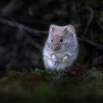 Metsämyyrä - Kuva: Esa Mälkönen