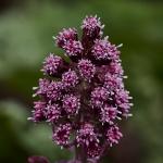 Etelänruttojuuri kukkii nyt täysillä. Kuva Jukka Ranta