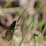 Vesiperhonen Oligostomis reticulata. Kuva: Helmut Diekmann