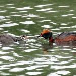 Mustakurkku-uikku ja poikanen. Kuva: Esa Mälkönen