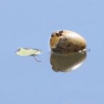 Naurulokin munan tyhjä kuori. Kuva: Esa Mälkönen