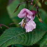 Jättipalsami houkuttelee mehiläisiä. Kuva: Jukka Ranta