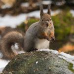 Orava ollut taistelussa - Kuva Paul Stevens