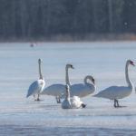 Allas jäässä, linnut tulleet puroon ja sen suulle – Viikot 11-12/2019