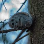 Naapurimetsikön liito-orava - Kuva Paul Stevens