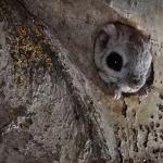 Liito-orava. Kuva: Esa Mälkönen