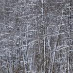 Lumioksat - kuva Timo Leppäharju