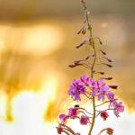 Maitohorsma ja kärpänen - Kuva: Esa Mälkönen