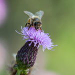 Mehiläinen - Kuva Paul Stevens