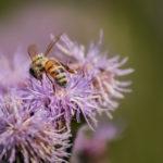 Mehiläinen ohdakkeella - Kuva Jukka Ranta