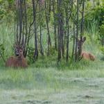 Metsäkauriit - Kuva Paul Stevens