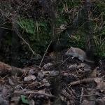 Metsämyyrä - Kuva Esa Mälkönen