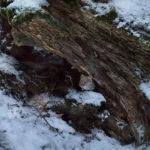 Metsämyyrä_Kuva Esa Mälkönen