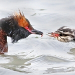 Mustakurkku-uikku ja poikanen - Kuva Esa Mälkönen