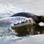 Mustakurkku-uikku vauhdissa - Kuva: Esa Mälkönen